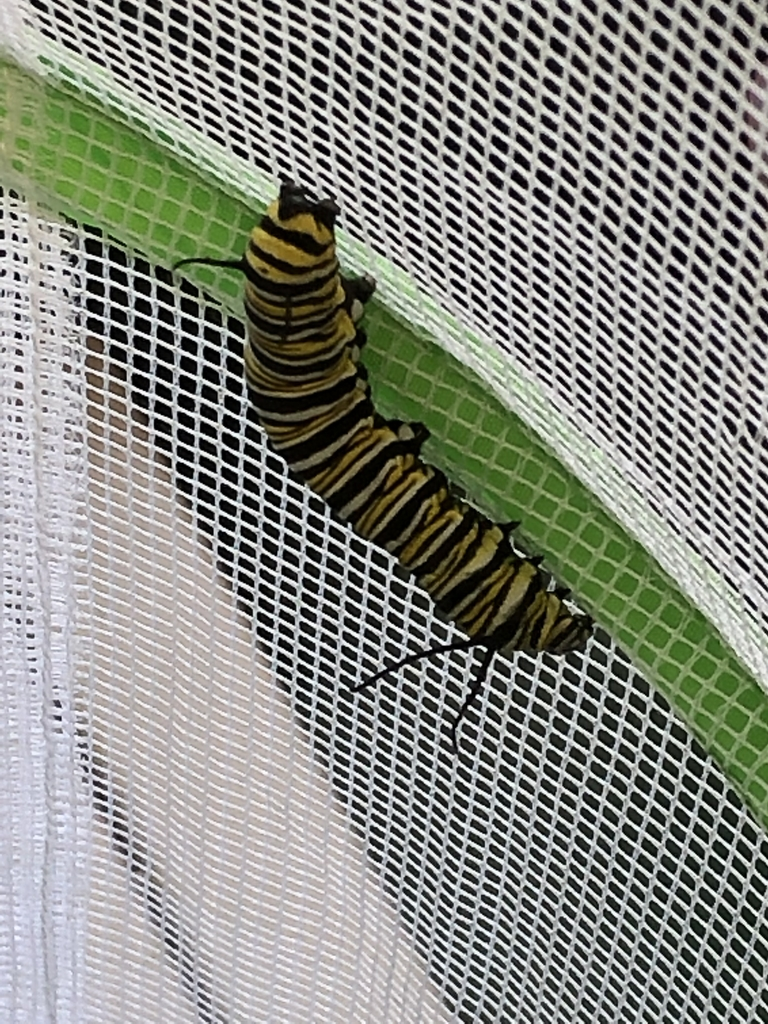 Hopefully this guy will form a chrysalis by the end of the week!